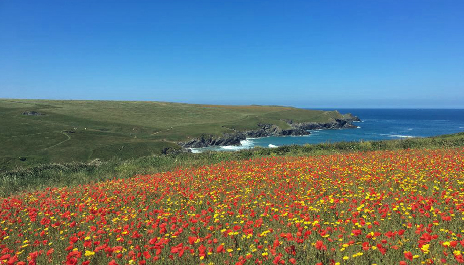 Porth Joke Poppies Cornwall