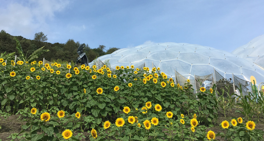 Sunflowers at The Eden Project