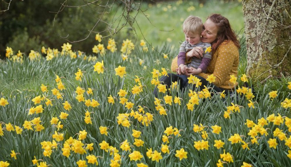 daffodil-trail-national-trust-cornwall