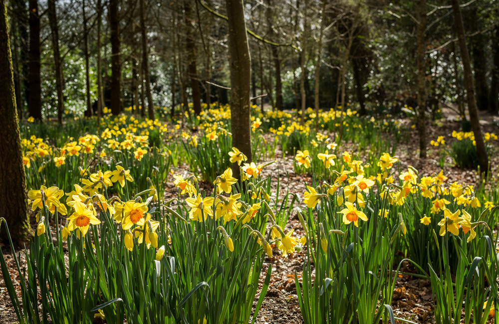 Daffodils on the woodland walk Lost Gardens of Heligan