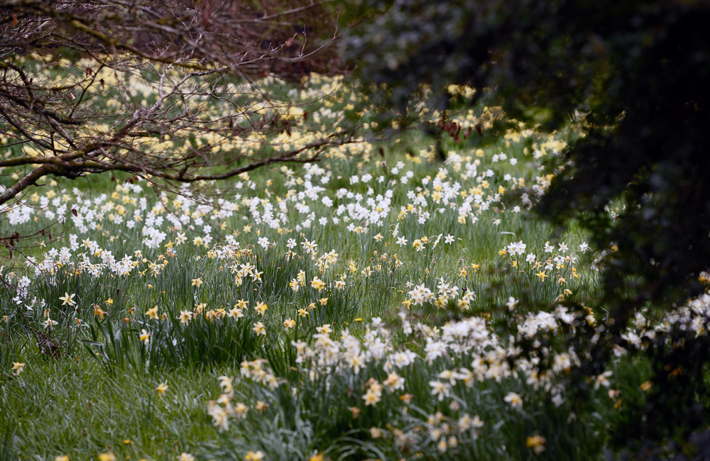 A drift of white and yellow daffodils in the garden at Cotehele, Cornwall ©National Trust Images/John Millar