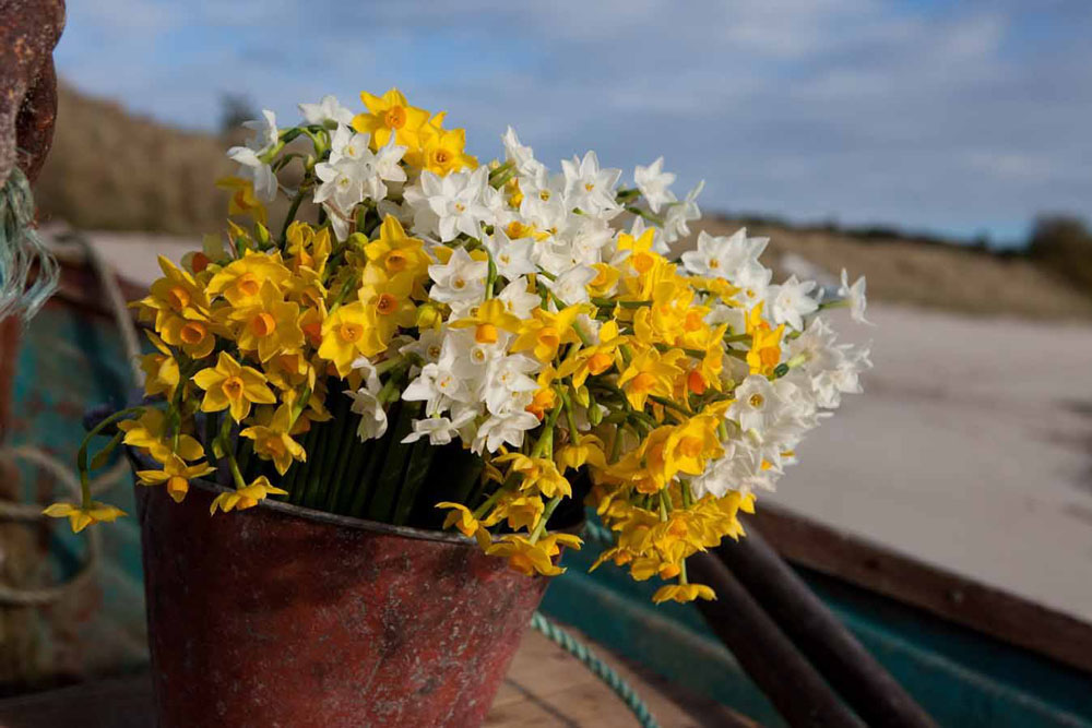 Scented narcissi by post Scilly Flowers